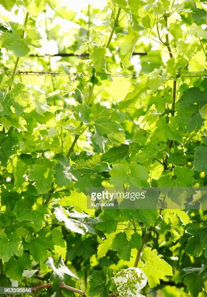 grape leaves of fresh green - grape leaf stock pictures, royalty-free photos & images