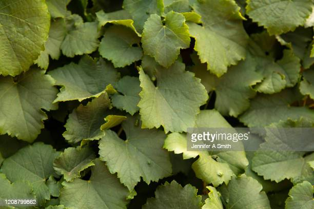 grape leaves - grape leaf stock pictures, royalty-free photos & images