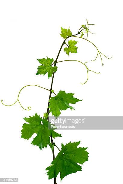 grape leaves - vine plant stock pictures, royalty-free photos & images