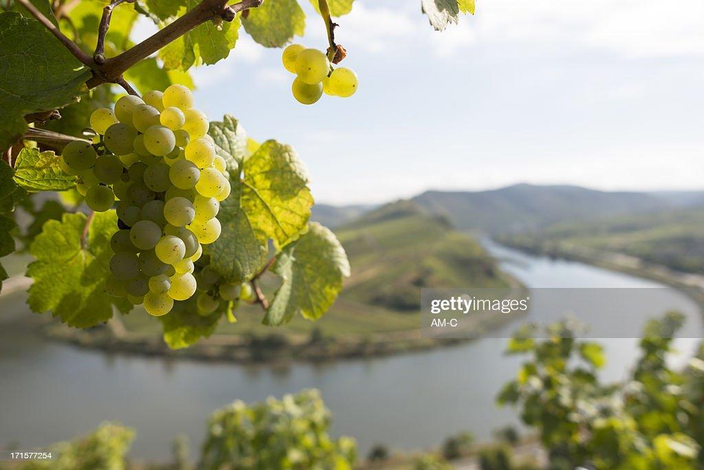 Grape, Moselle Loop, Mosel, Moselschleife, Bremm, Germany. : Stockfoto
