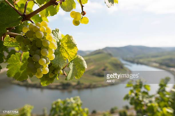 grape, moselle loop, mosel, moselschleife, bremm, germany. - moselle france stock pictures, royalty-free photos & images