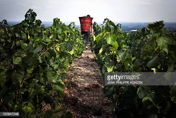 A grape picker carrying his harvest walks through a vineyard on Septemeber 12 2009 at the Grand Pre estate in the Beaujolais region eastern France...