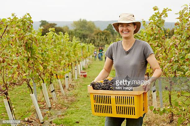 A grape picker in a wide brimmed hat, carrying a plastic crate of picked red grapes