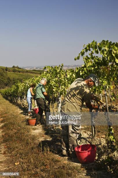 Grape pickers work in the vineyard Capanna of Brunello di Montalcino on September 26, 2011 in Montalcino, Italy. Harvesting, done entirely by hand,...