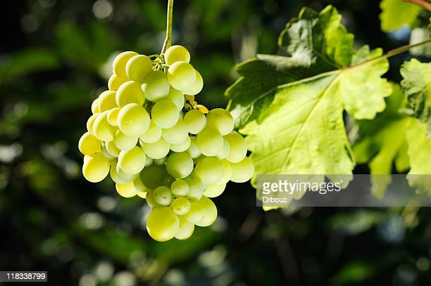 grape - chardonnay grape stock photos and pictures