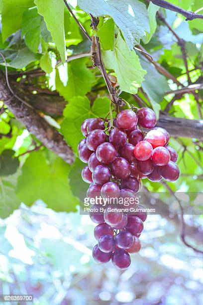 grape - ワインレッド ストックフォトと画像
