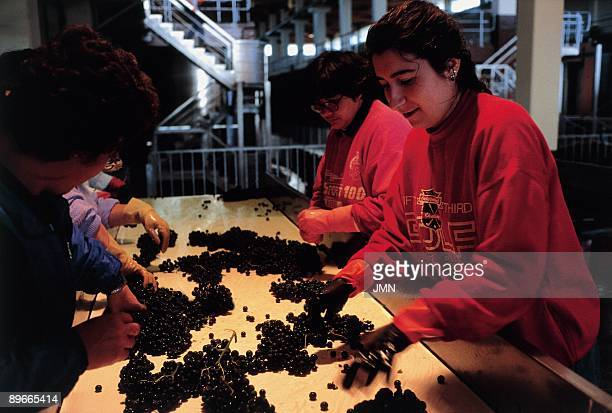 Grape selection Five women work selecting the grape in the Bodega Abadia de Retuerta Sardon del Duero Valladolid province
