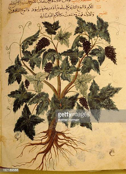 A grape vine An illustration from a 13th century Arabic translation of Dioscorides Materia Medica By Yusuf al Mawsili MS NoA2127 Islamic December...
