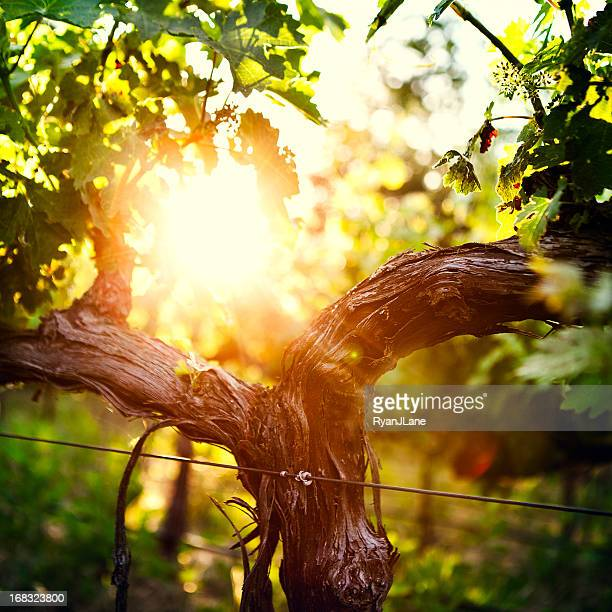 Grape Vine and Trunk in Late Spring