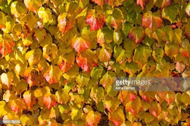 Grape Vine (Vitis vinifera subsp. Sylvestris), leaves with autumnal foliage