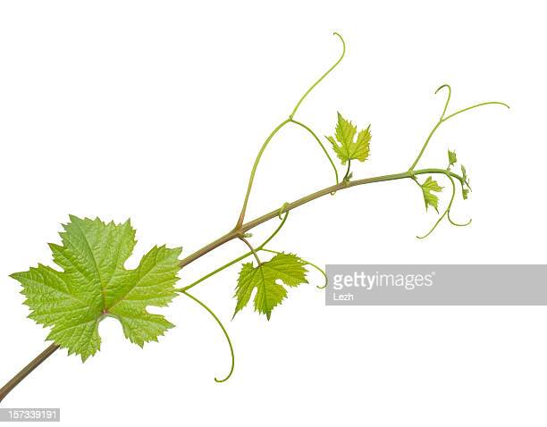 grape vine with leaves on white background - vine stock pictures, royalty-free photos & images