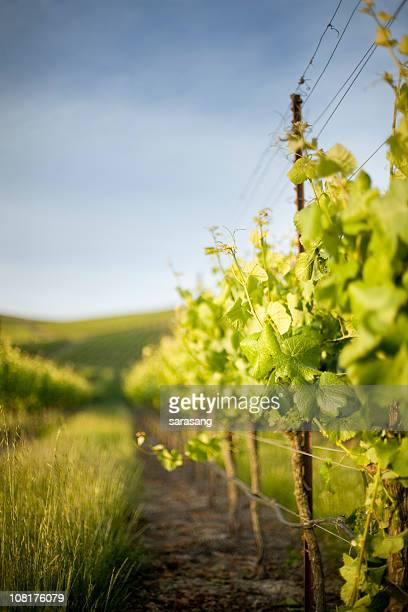 grape vines and grass