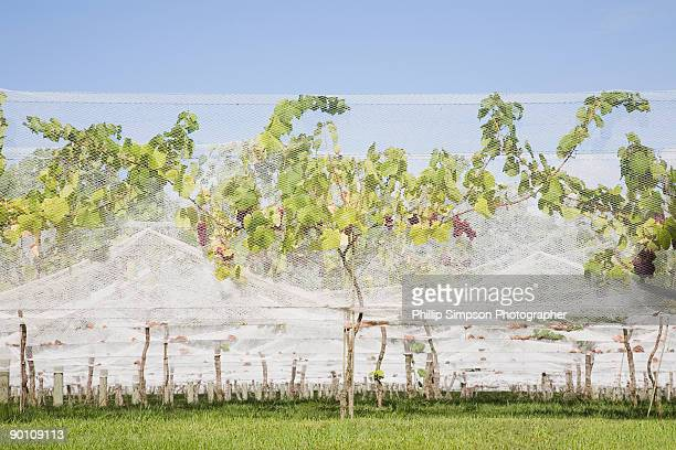 Grape vines and protective netting