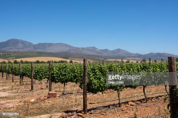 Grape vines at a wine farm in Cape Town's wine region