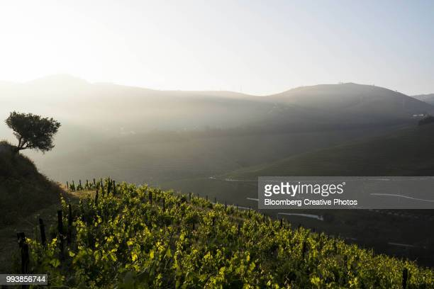 grape vines grow in the morning sunlight - douro valley stock photos and pictures