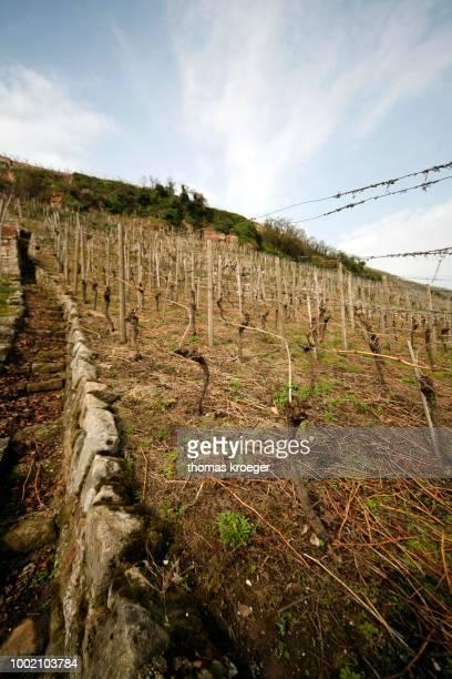 Grape vines in a vineyard, Esslingen am Neckar, Baden-Wuerttemberg, Germany