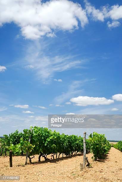 Vignes dans un vignoble près de Cognac