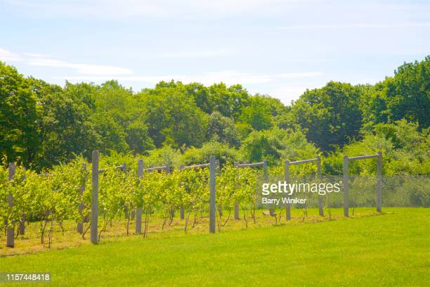 grape vines in goshen, ct - barry wood stock pictures, royalty-free photos & images