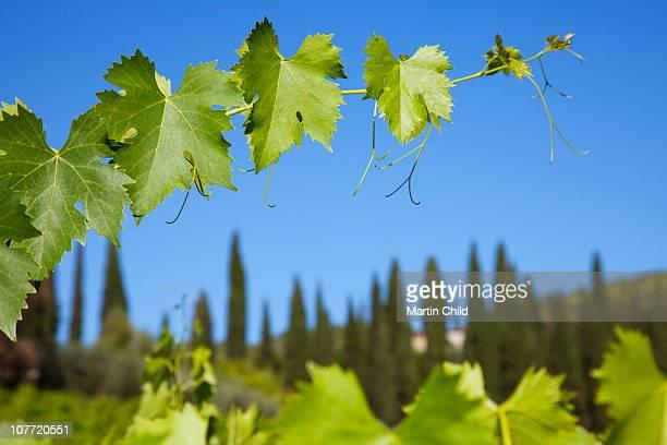 grape vines in vinyard