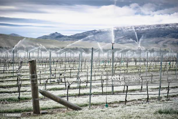 grape vines in winter - otago stock pictures, royalty-free photos & images