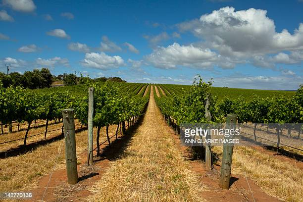 Grape vines on summer day