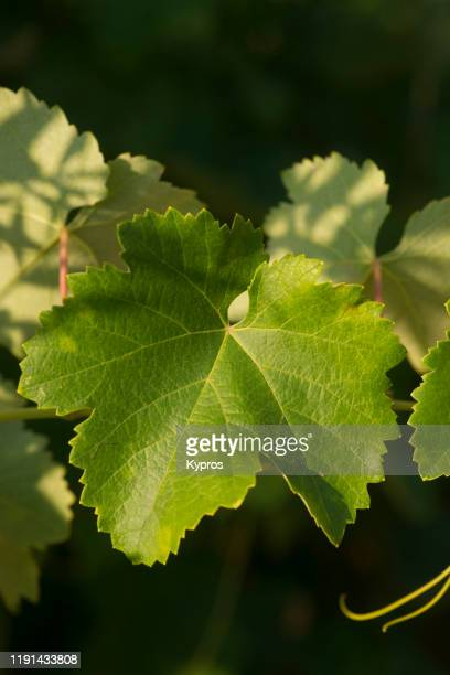 grape vines - dolmades stock pictures, royalty-free photos & images