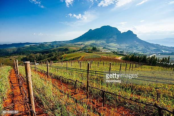 Grape vines sit on the slopes of the Botmaskop mountain peak at the Delaire Graff Estate in Stellenbosch South Africa on Thursday Aug 18 2016...