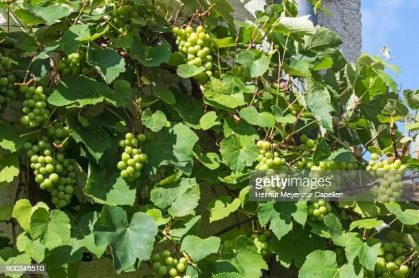 Grape vines (Vitis vinifera) with grapes as espalier on a house wall, Bavaria, Germany
