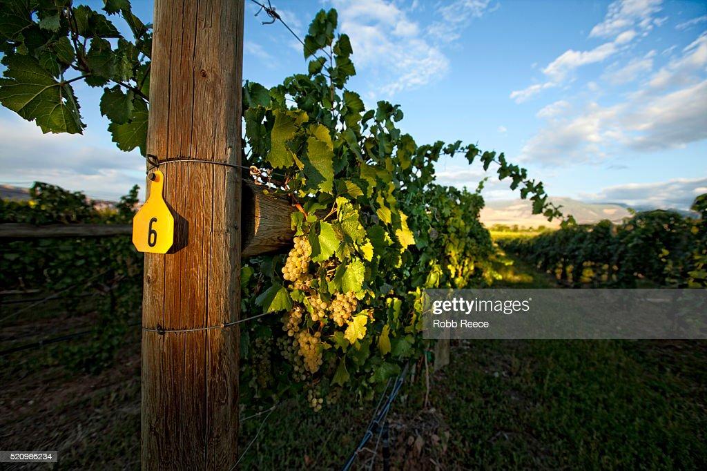A grape vineyard and grape vines near Palisade, Colorado : Stock Photo