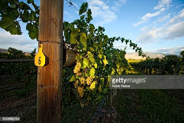 a grape vineyard and grape vines near palisade, colorado - robb reece fotografías e imágenes de stock