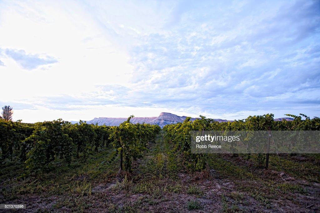 Grape vineyard and Mt. Garfield near Palisade, Colorado : Stock Photo