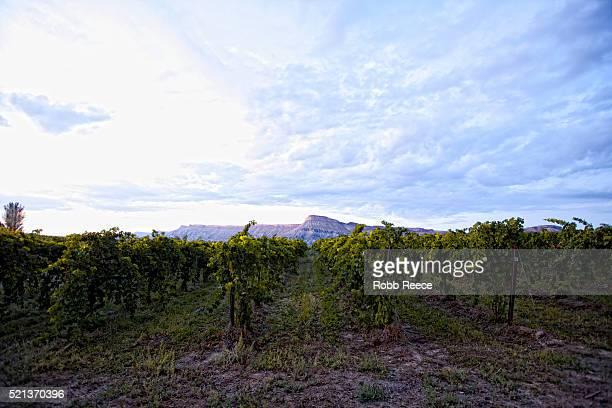 grape vineyard and mt. garfield near palisade, colorado - robb reece fotografías e imágenes de stock