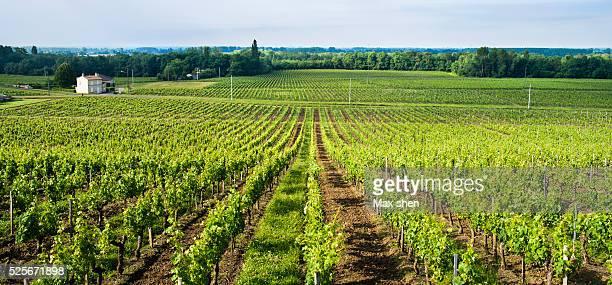 grape vineyard in bordeaux - bordeaux wine stock photos and pictures