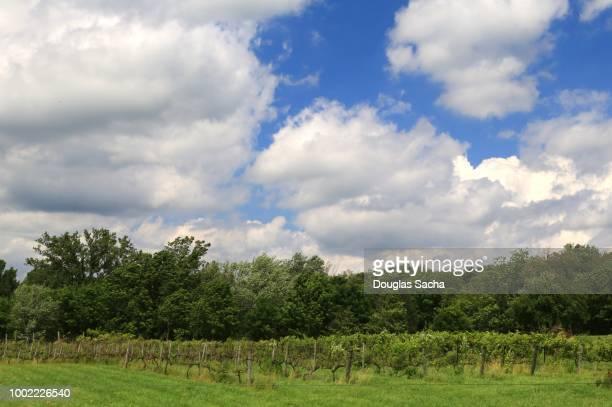 grape vineyard - pinot noir grape stock photos and pictures