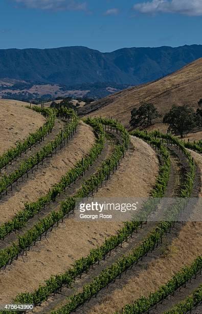 Grape vineyards in Ballard Canyon are viewed on May 15 near Santa Ynez California Because of its close proximity to Southern California and Los...