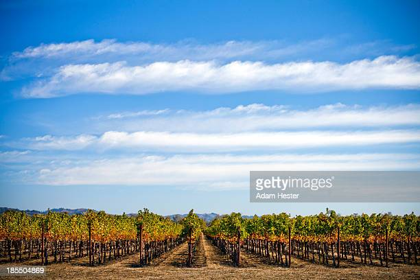 Grape vineyards in Sonoma County during autumn.