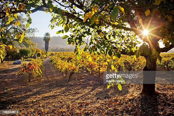 grape vineyards in sonoma county during autumn. - healdsburg stock pictures, royalty-free photos & images