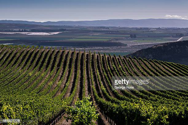 Grape vineyards off Tepusquet Ranch and Santa Maria Mesa Roads are approaching an early harvest on August 11 near Santa Maria California Because of...