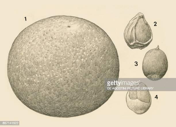1 fruit 2 whole seed 3 seed freed from first casing 4 seed freed from the second casing black and white drawing