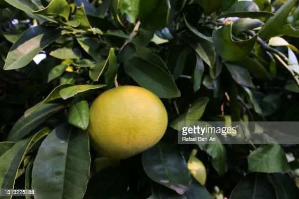 grapefruit growing on a tree in an orchard - rafael ben ari fotografías e imágenes de stock