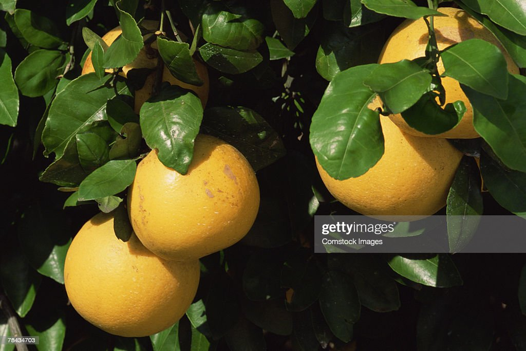 Grapefruits and leaves : Stockfoto