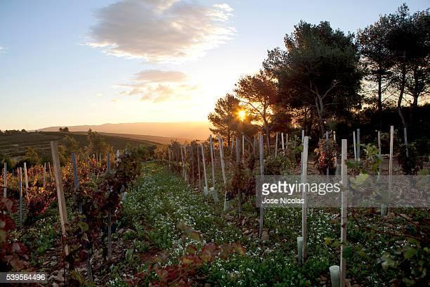 grape-harvest in south of france - bandol photos et images de collection