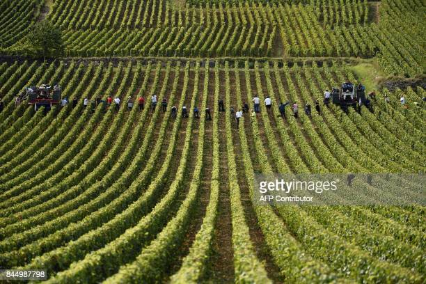 Grapepickers from the Romanee Conti domaine harvest in the Richebourg Grand Cru vineyards on September 8 2017 in VosneRomanee in Burgundy / AFP PHOTO...