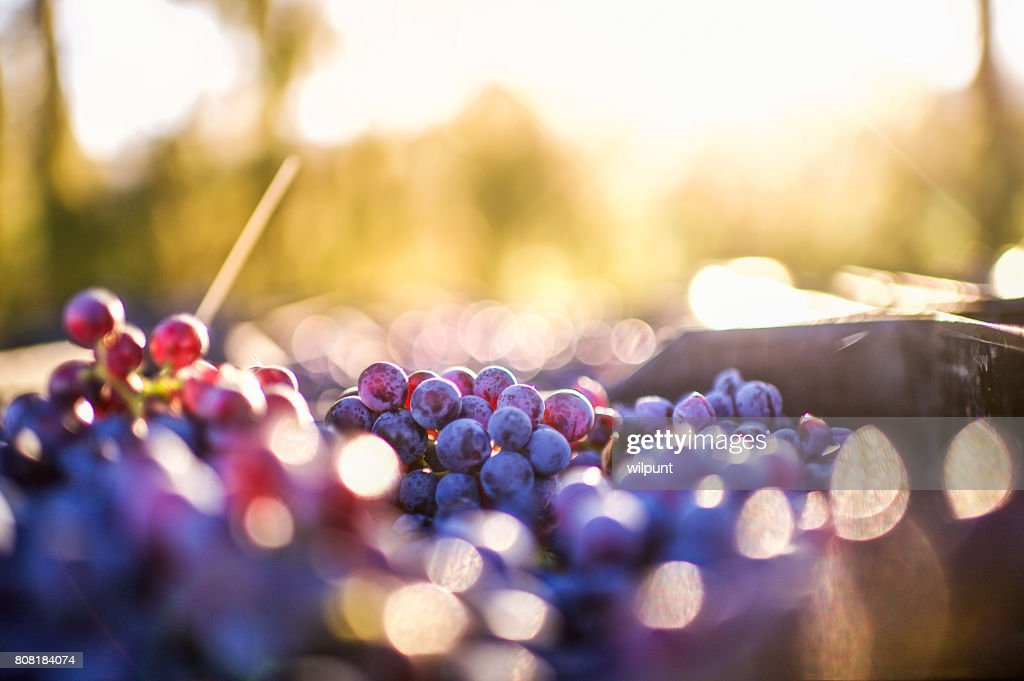 Grapes after being harvested : Stock Photo