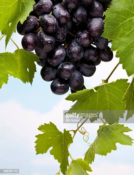 grapes and leaves - cabernet sauvignon grape stock pictures, royalty-free photos & images