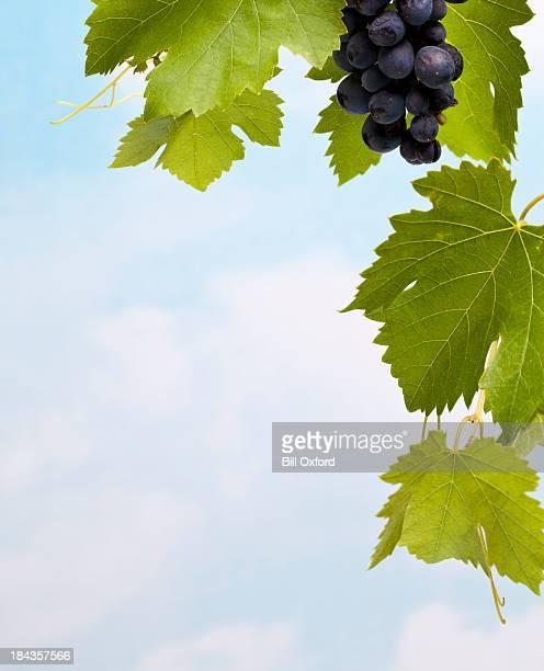 uvas e folhas - cabernet sauvignon grape - fotografias e filmes do acervo