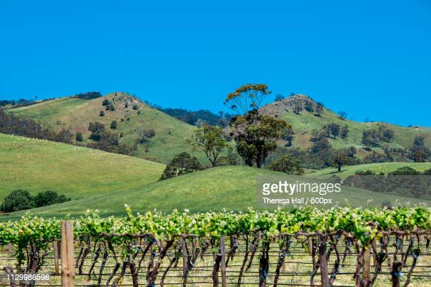 grapes and mountains, barossa valley, south australia, australia - barossa valley stock pictures, royalty-free photos & images