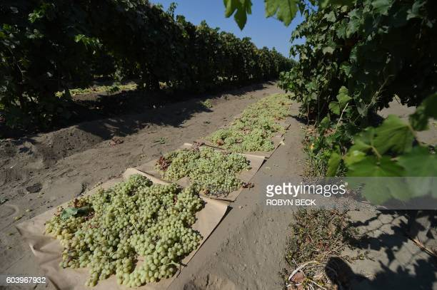 Grapes are harvested near Porterville California August 24 2016 Agricultural fertilizers as well as cow manure from dairy farms have led to domestic...