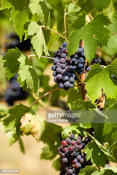 Grapes are ripe in a vineyard on a hill on August 11 in Tuscany Italy Tuscany produces wines including Chianti Vino Nobile di Montepulciano Morellino...