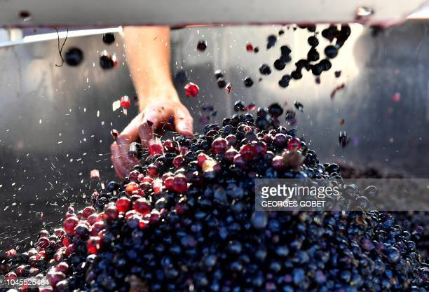 Grapes are seen in a during the harvest of the Chateau Angelus Saint Emilion vineyard on October 4 2018 in SaintEmilion